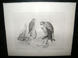 Frohawk 1898 Antique Bird Print. Kestrel